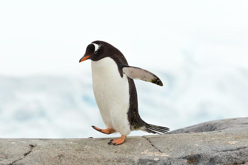 Gentoo Penguin. British Research Station. Port Lockroy, Antarctica