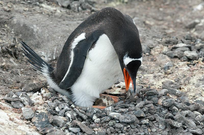 Gentoo Penguin in Nest with Egg. Port Lockroy, Antarctica