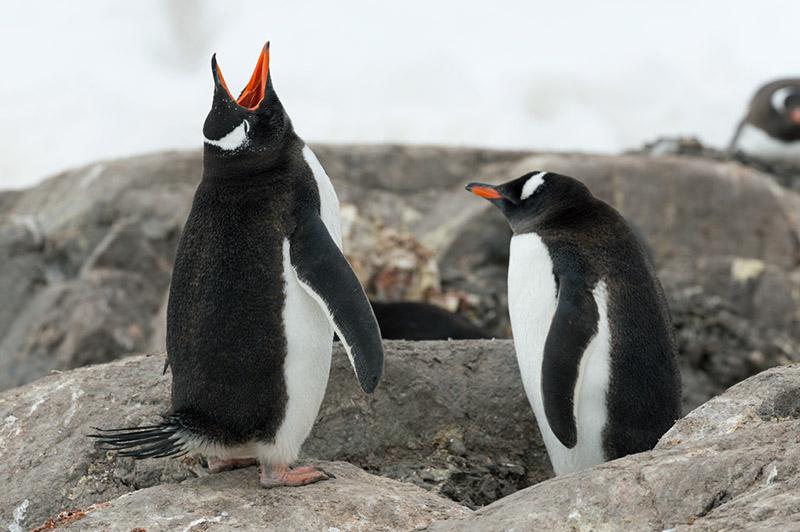 Gentoo Penguin Calling. Port Lockroy, Antarctica