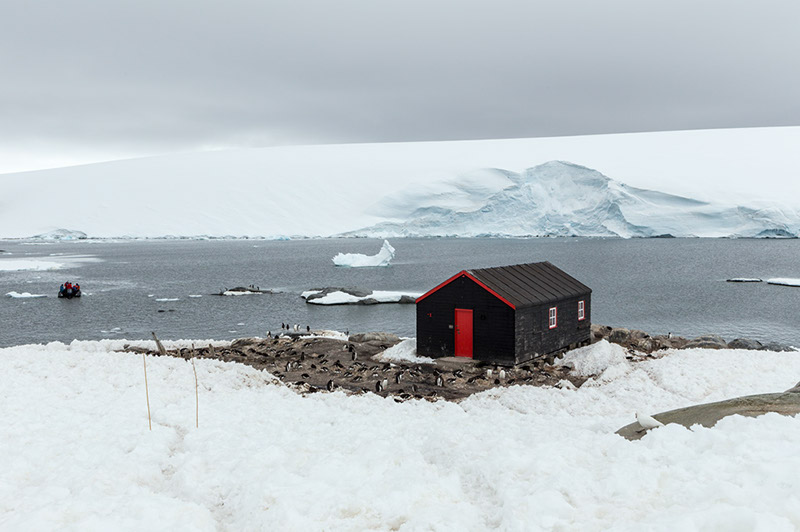 Nesting Gentoo Penguins. Port Lockroy, Antarctica