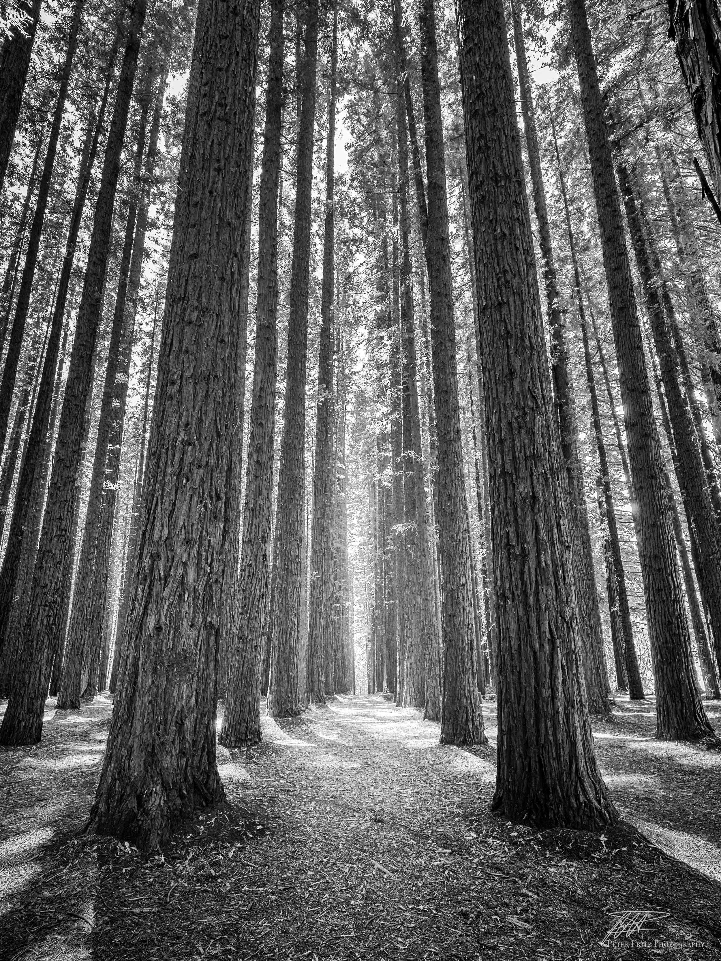 Redwood Trees Bnw
