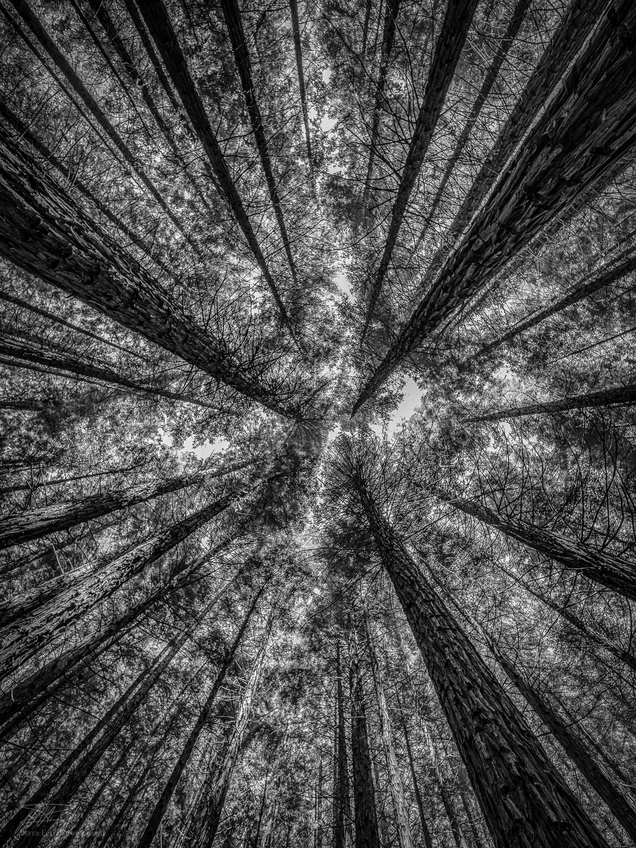 Redwoods up bnw 4x3 web.jpg