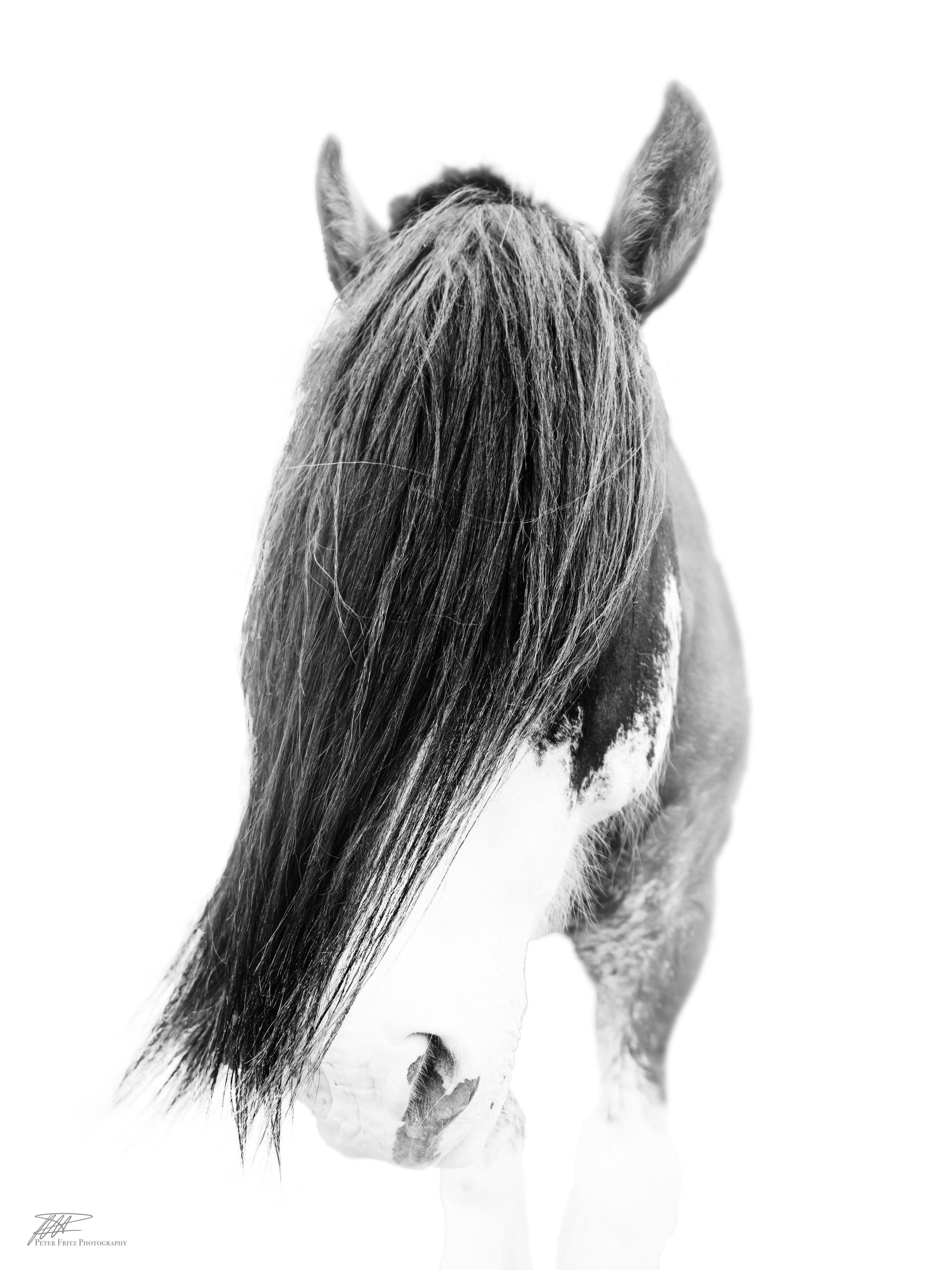 Shy Horse 4x3.jpg