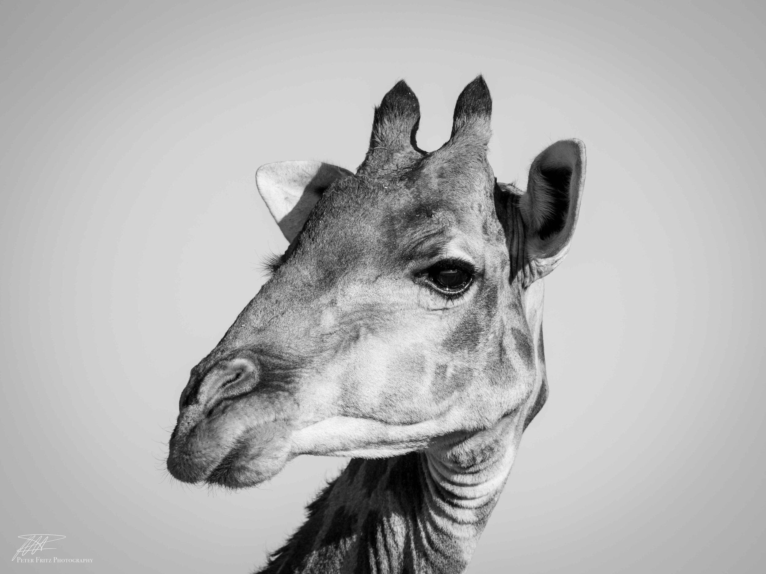 Giraffe bnw Side on web.jpg