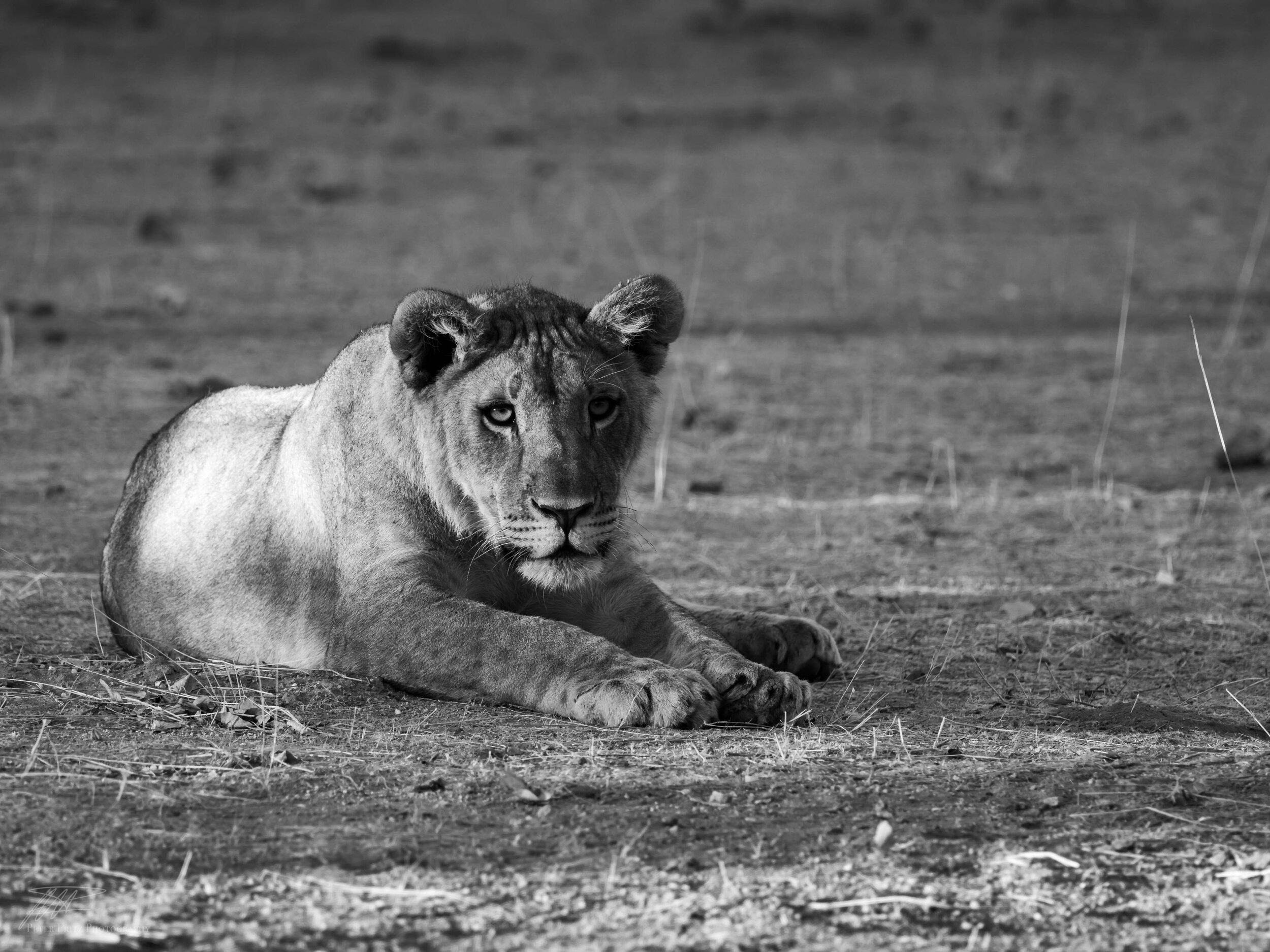 Lion cub bnw 4x3 web.jpg