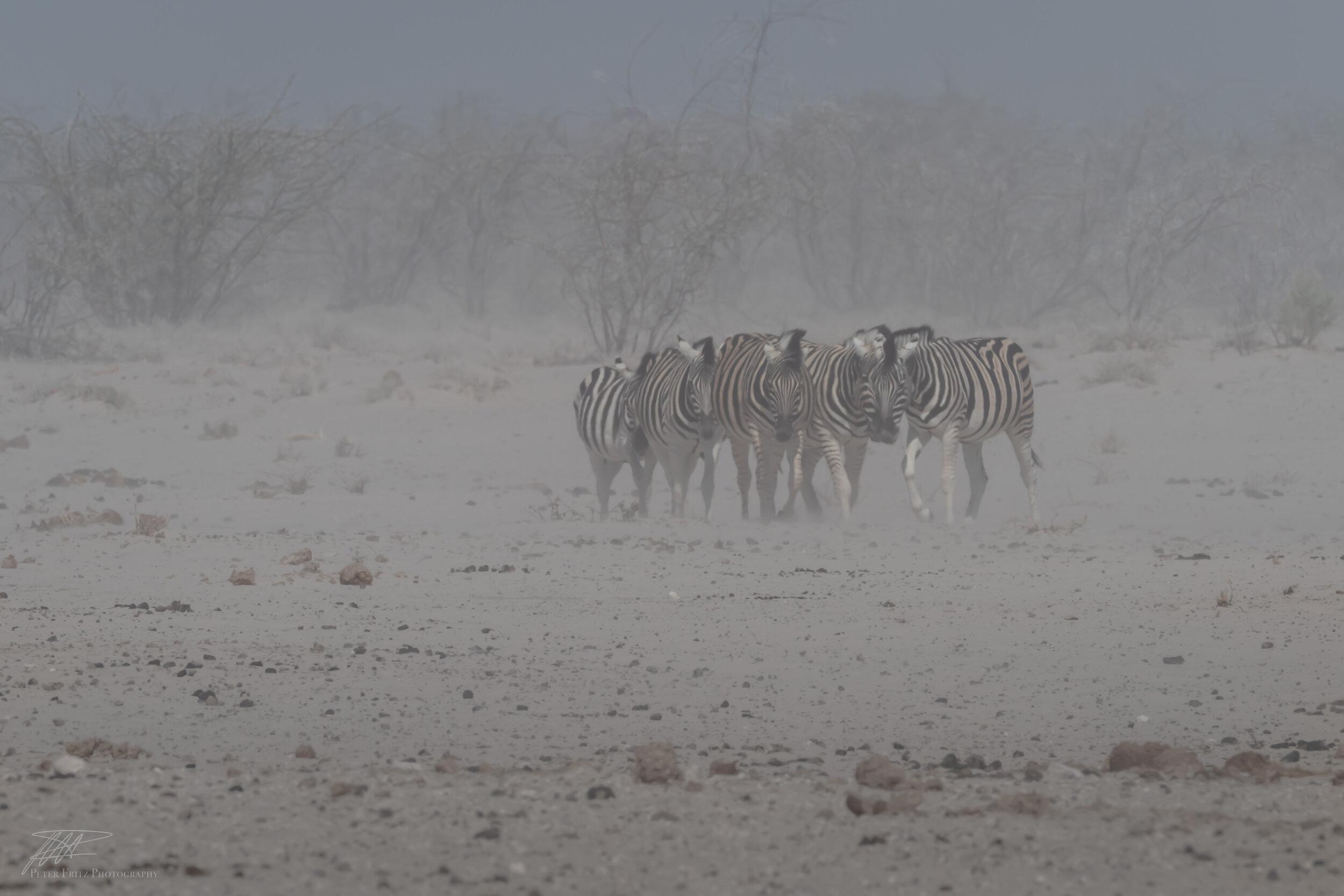 Zebras in the dust web 3x2.jpg