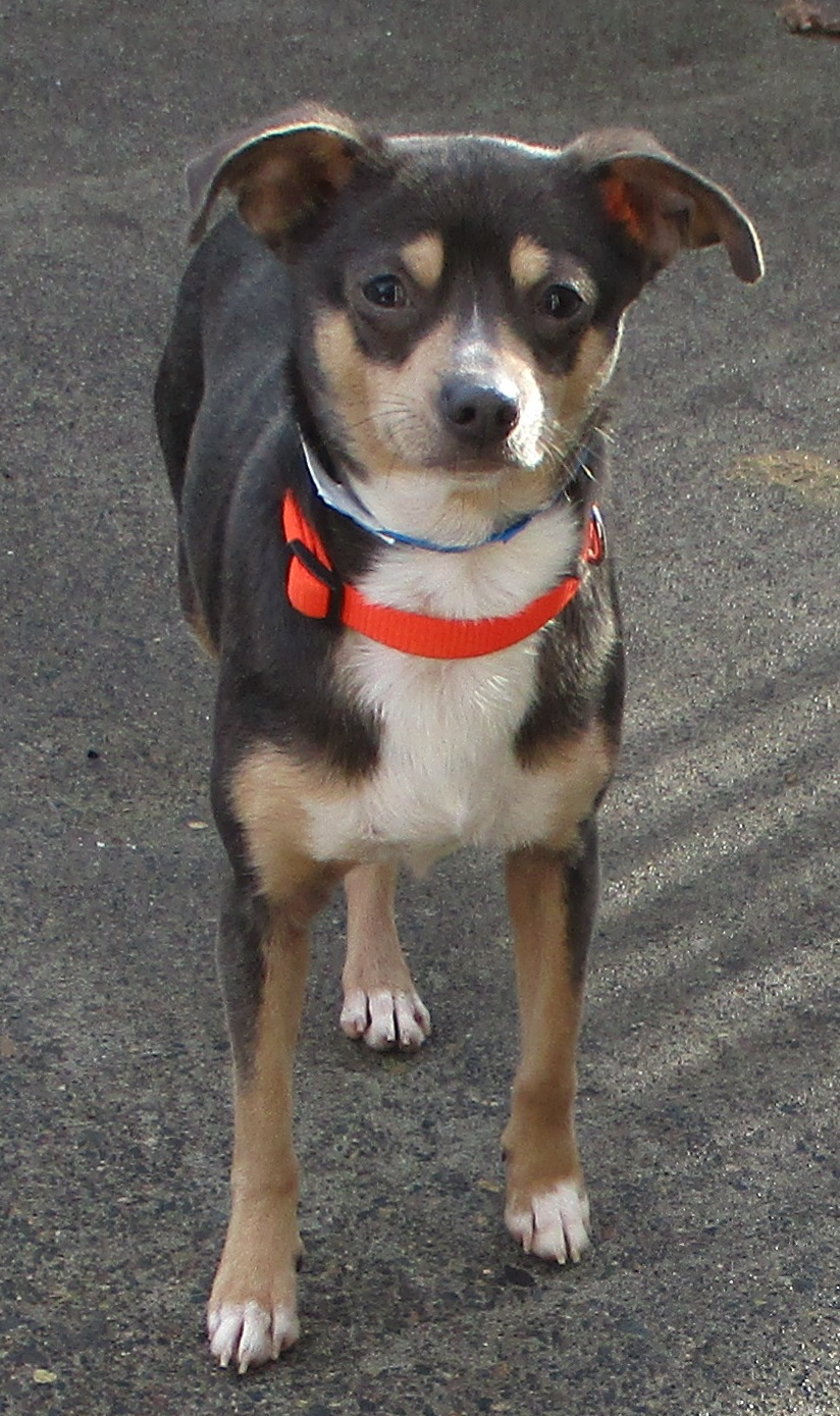DANTE: 1-2 yrs old, Chihuahua mix, Male, 11 lbs. Adoption fee $150 Neutered Already, current on shots and worming, flea treated. Dante is a work in progress. He came from a hoarding situation where he had never been touched by humans. He is doing well adjusting to a new lifestyle but he gets jumpy. He is going to need someone who will be patient with him and have time to do some training. He is fantastic with other pets and loves to be in the car on car rides. Once he gets adjusted to a new home (anywhere from 2 to 5 day) he is not jumpy any longer and acts very normal.