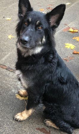 MARYLYNN: 4-5 yr old, GSD longhair, Female, 70 or more lbs: MaryLynn is an active, social and energetic gal. She is your typical GSD in that if she does not get proper exercise and discipline she is likely to take over the house. She corrects easily. She is no cats or chickens. Her adoption fee is $350.