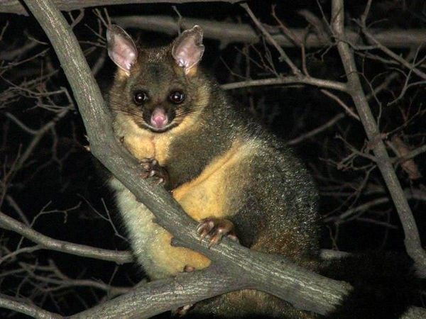 Brushtail.jpg