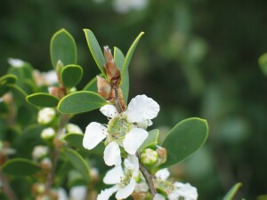coast_tea_tree_flowers.jpg
