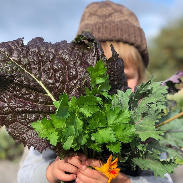 Some pickings from the @wynndean.caravan.park organic garden today... fresh parsley, kale, silverbeet, red mustard, lemongrass and radicchio! But wait... have you tried the chocolate mint in the garden? It definitely tastes like a mint slice!!! Tell us if you agree! 😍