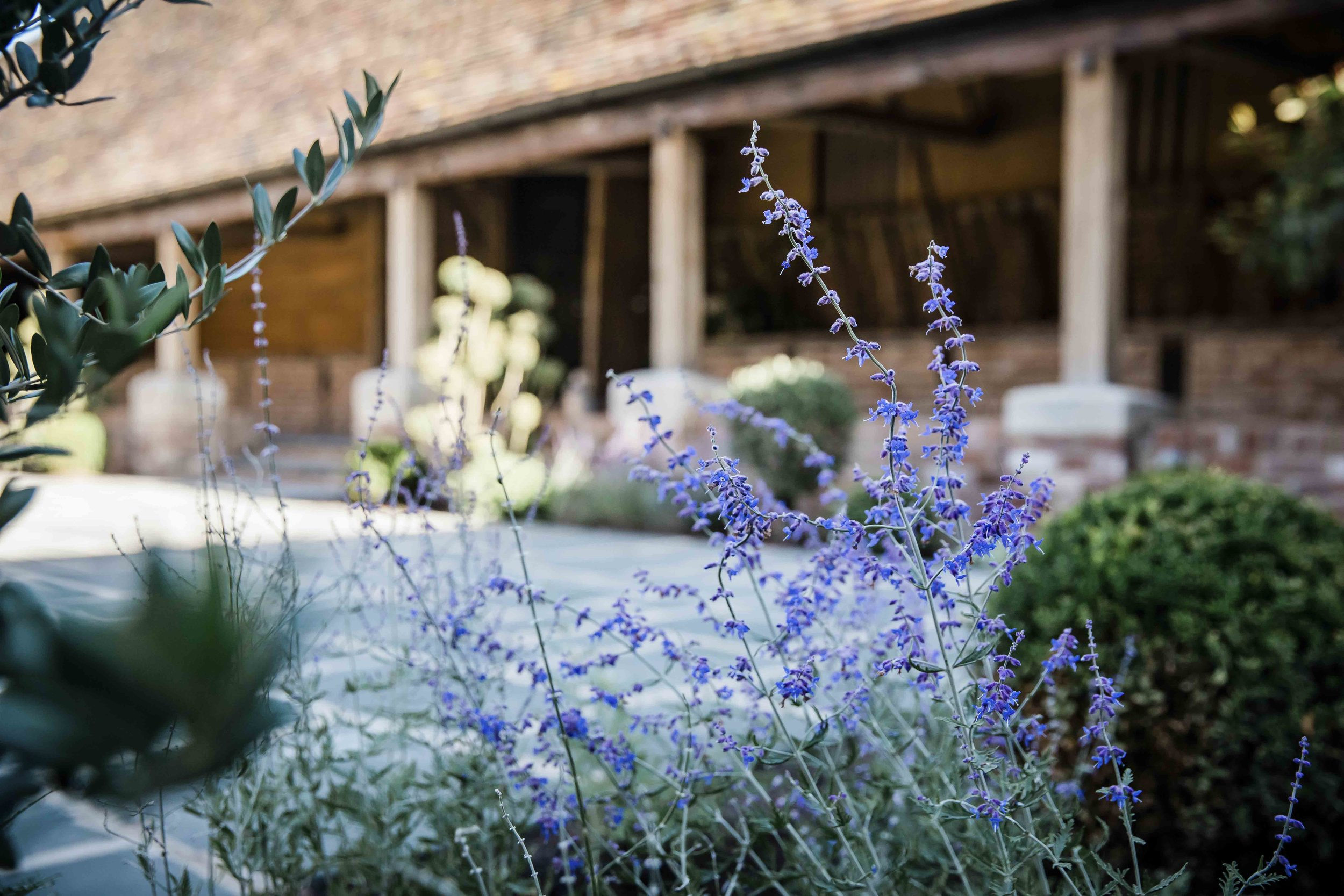 Lavender in the Courtyard for web.jpg