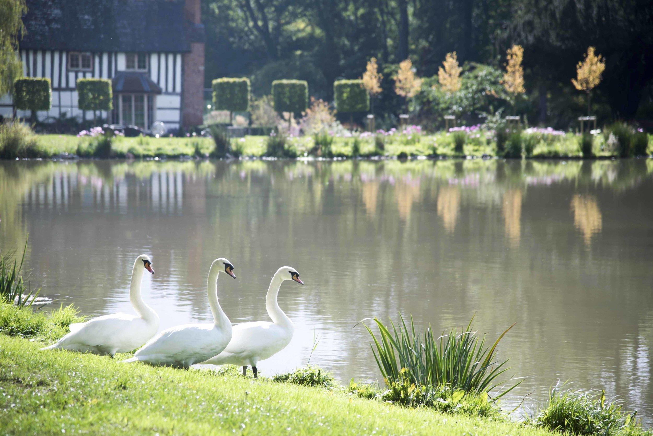 Three Swans standing by lake.jpg