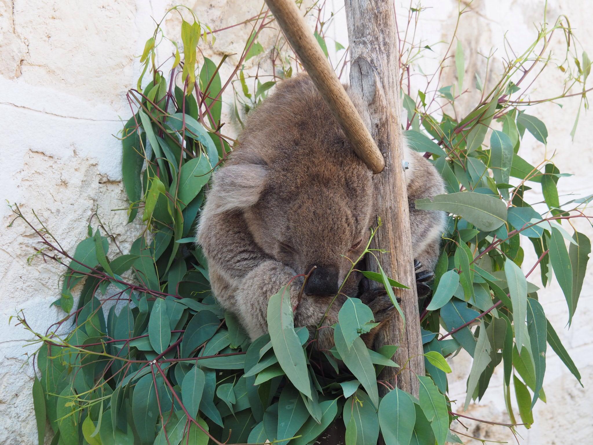 The koala was a bit sleepy despite all the excitement.
