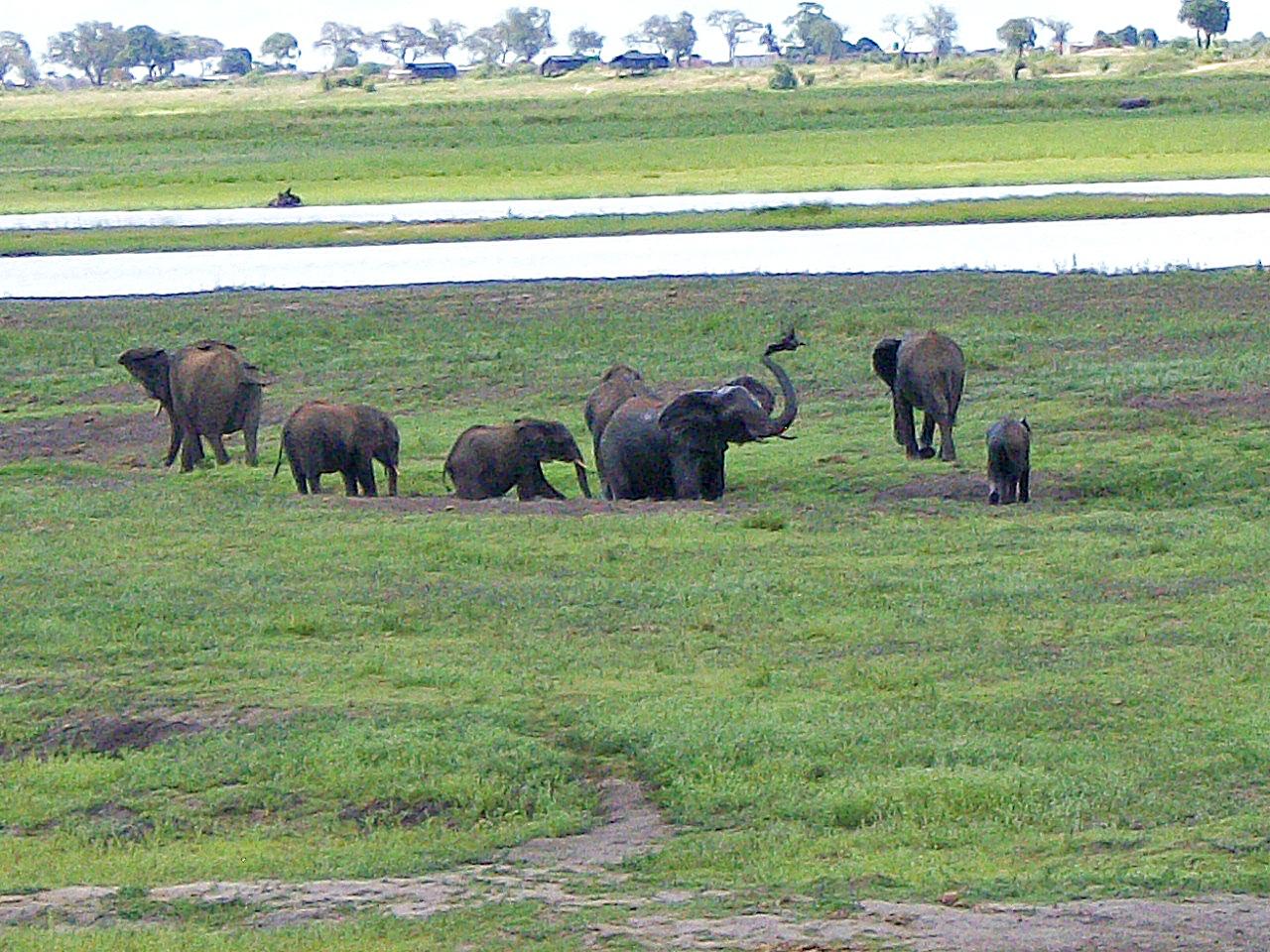 elephants safari chobe national park botswana.JPG