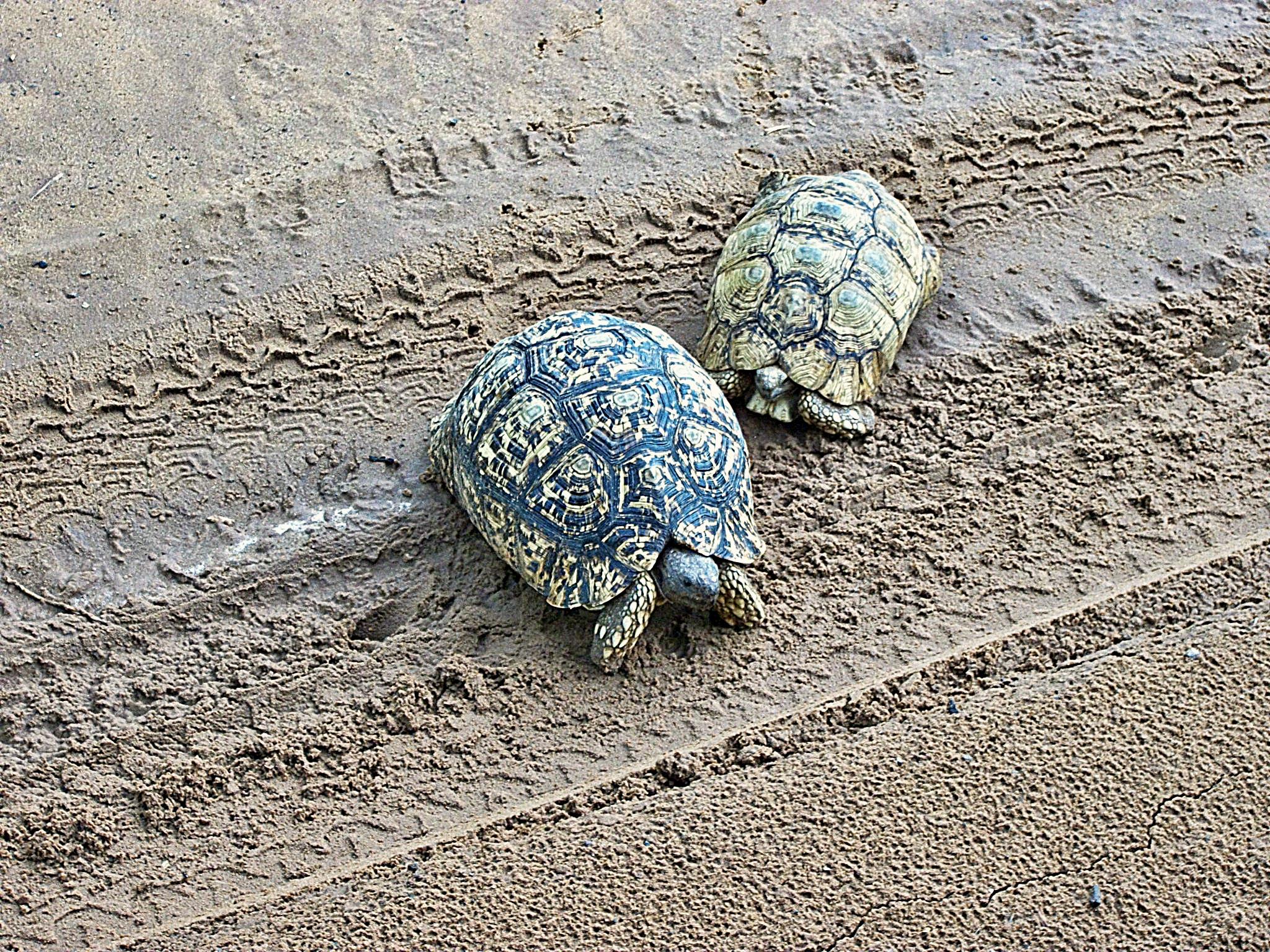 tortoise safari chobe national park botswana.JPG