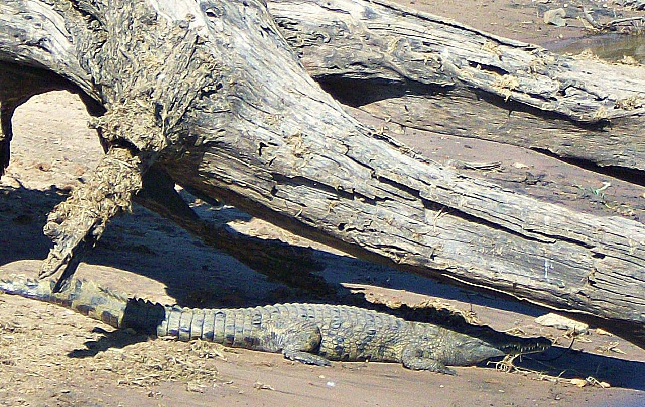 crocodile safari chobe national park botswana.JPG