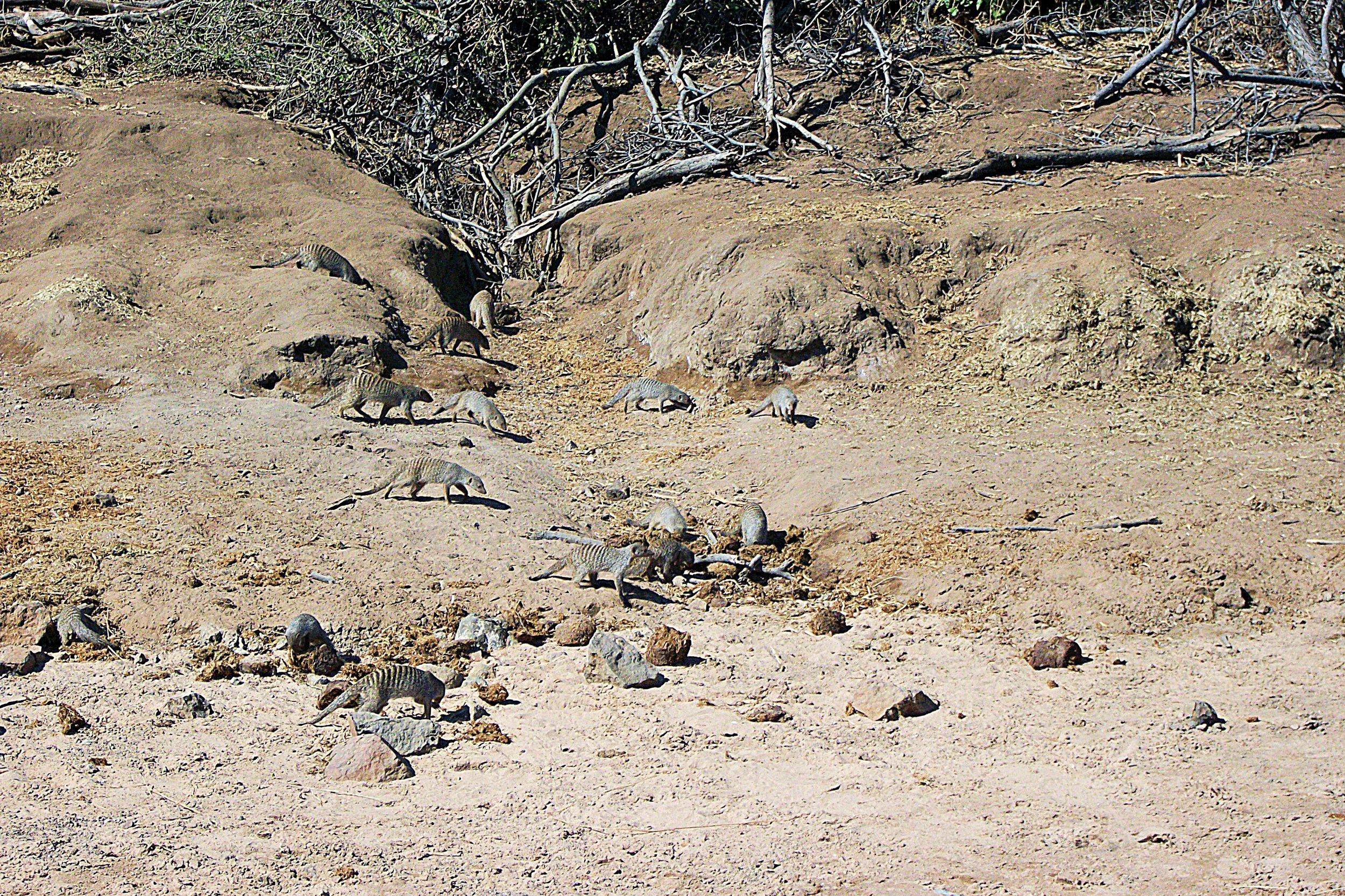 meerkats safari chobe national park botswana.JPG