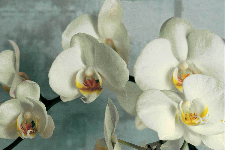 1.8 x 1.2 White Orchids.jpg