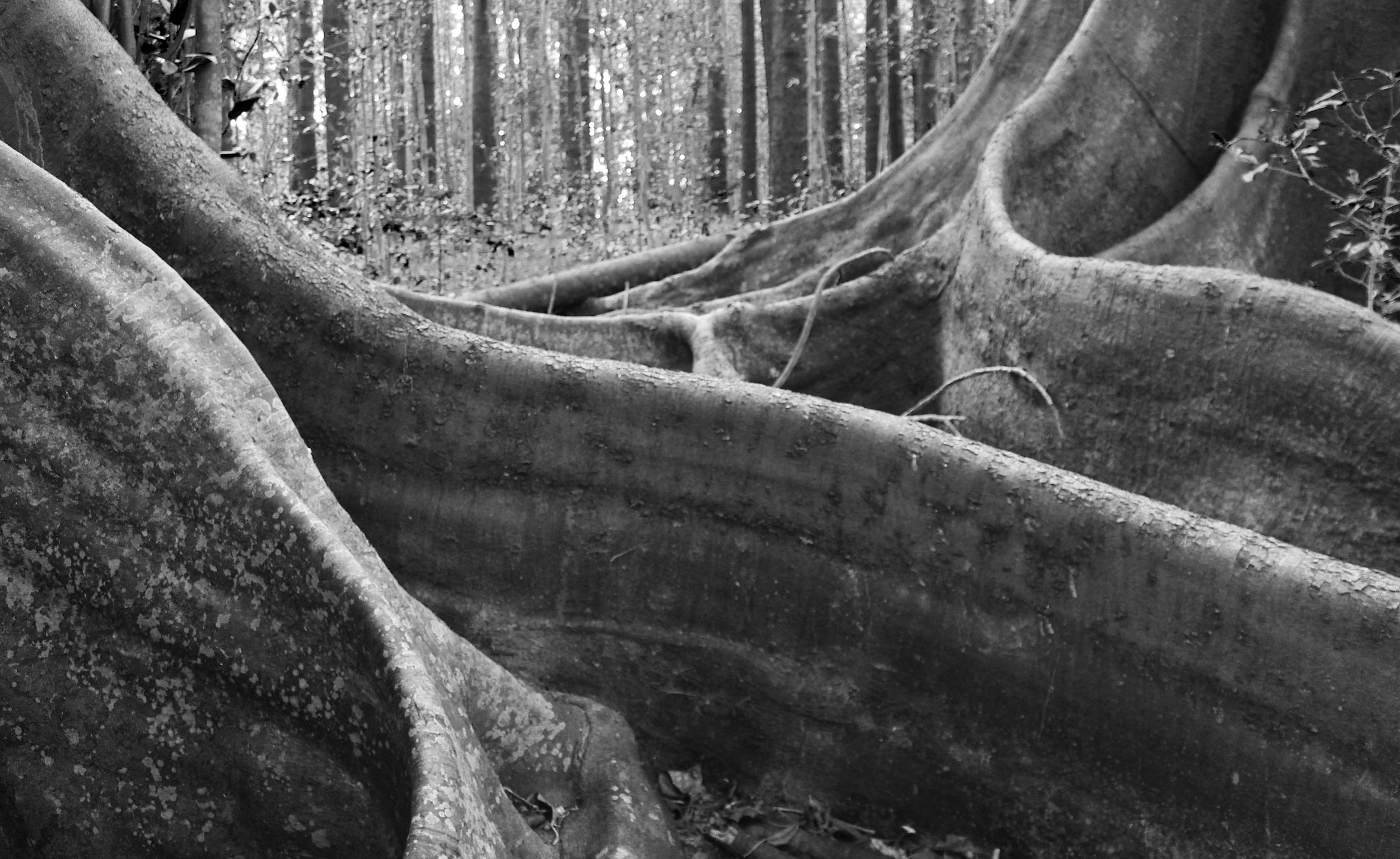 Banyan trees, Hundred Acre, Norfolk Island