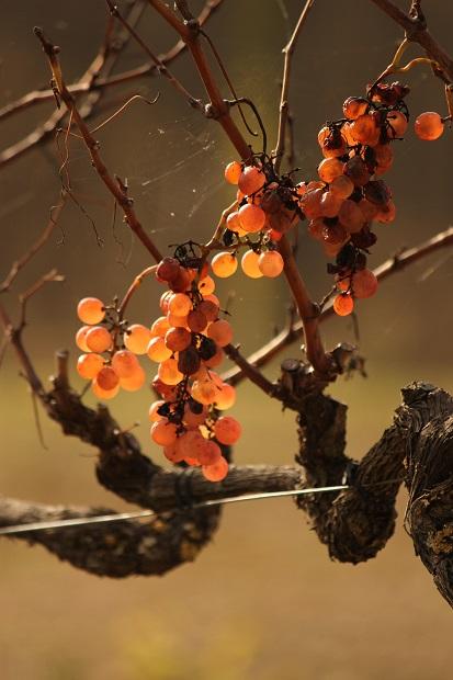 VINIFICATION DU VIN DE L'OUBLI - « Les vins de voile » sont vinifiés en exploitant les vertus œnologiques d'un voile naturel qui se développe à la surface des vins vieillis en tonneau non « ouillés ».Ils se caractérisent par le développement spontané après fermentation alcoolique de levures et bactéries formant un voile à la surface du vin lorsque ce dernier reste longtemps au contact de l'oxygène (durant sa phase de vieillissement en tonneau). Il faut environ deux ans pour que ce processus arrive jusqu'au bout.parmi les vins élevés de cette manière on peut citer les vins de Xérès, ou les vins jaunes du Jura qui doivent vieillir pendant six ans « sous voile ».Chez nous au Domaine de la Ramaye cette phase va durer entre 9 et 11 ans.Le vin de l'oubli est vinifié à partir du cépage ancestral du vignoble gaillacois : le mauzac. Il possède justement cette faculté à prendre le voile et à exalter des arômes de pommes, de curry et de noix.