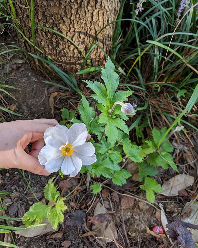 Japanese anemone making its appearance; Fall is on the way y'all.