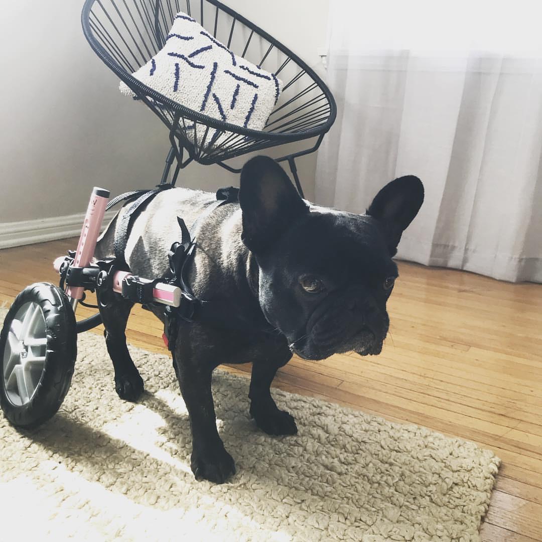 Lana - 3.5 year old French Bulldog