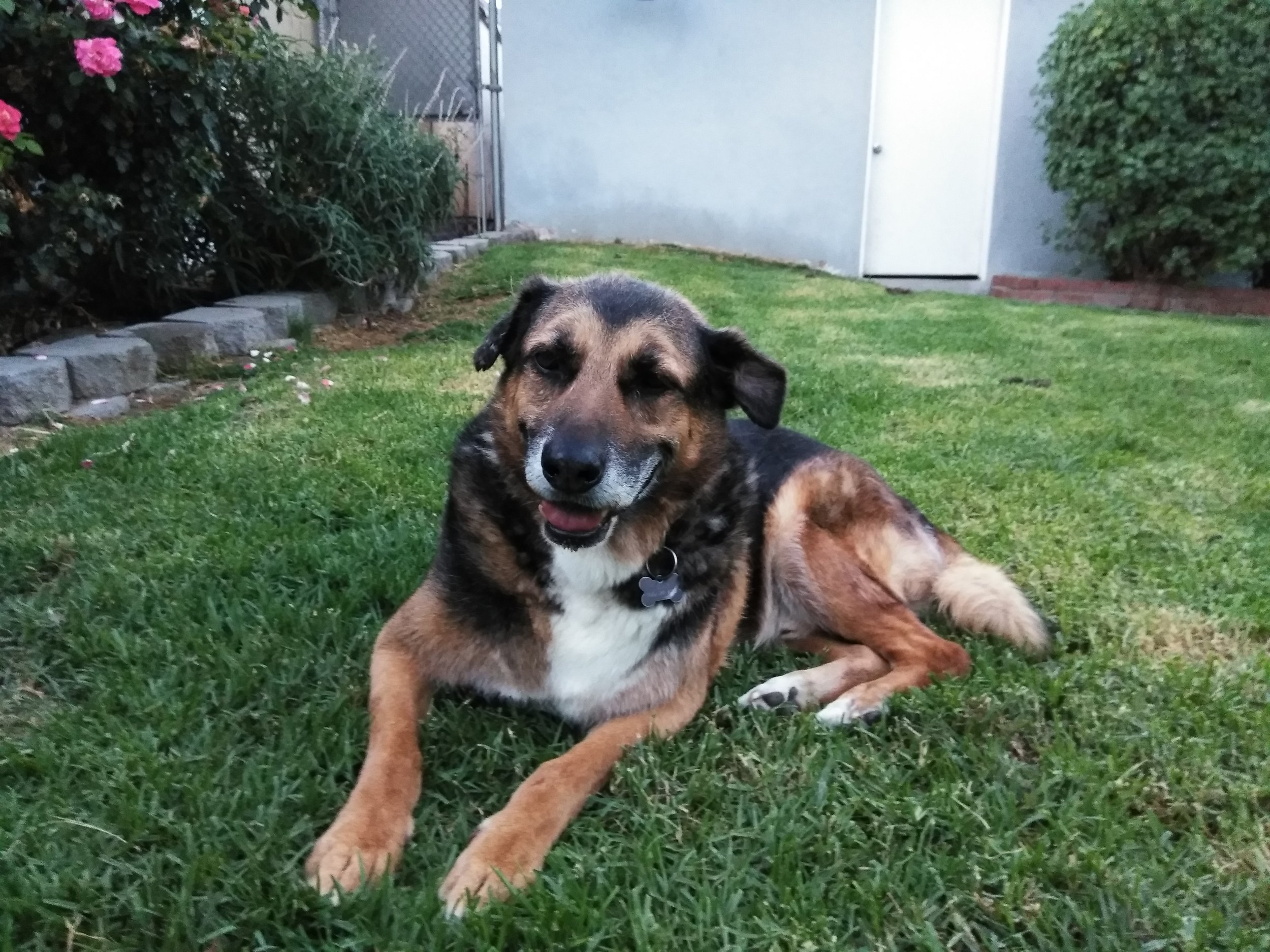 timmy - 12 Year Old German Shepherd ~ Glendale, CA ~ Large Rear-End Wheelchair ~ $400Wheelchair Ordered!