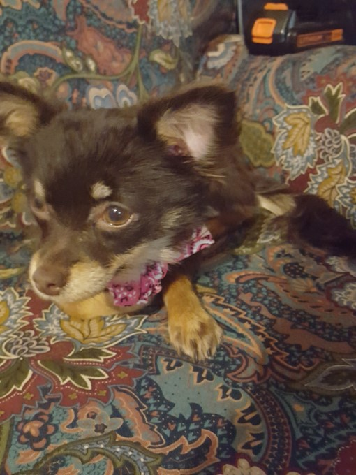 Willow - 8 month old Chihuahua from West Lafayette, Indiana in need of a small rear-end wheelchair.Small rear-end wheelchair: $150Donations received: $150 (Updated 9/7/2018)