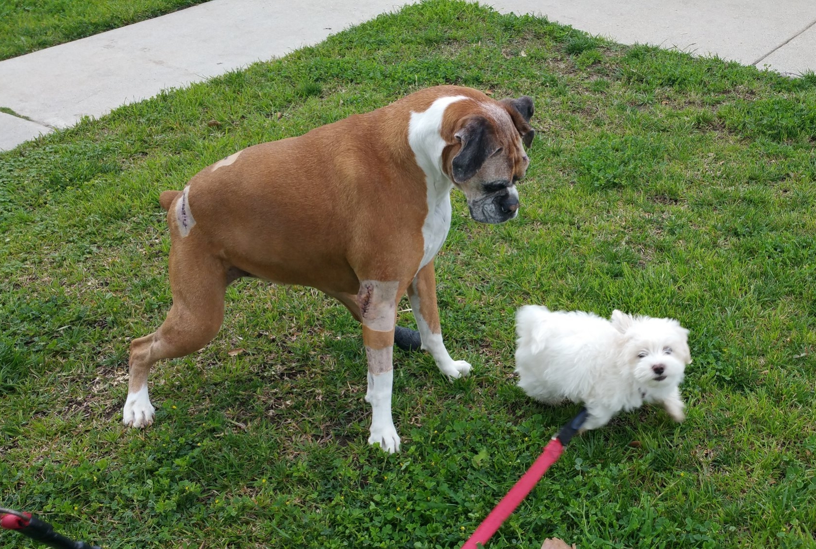 Tink - 10.5 year old Boxer Mix from West Hills, CA in need of a rear-end wheelchair. $400Donations Received: $00.00 (Updated 9/29/2018)