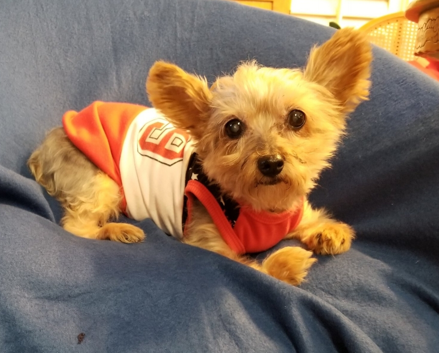 Hydie - 9 year old Yorkie from Grove in need of a custom front-support wheelchair. $700Donations Received: $00.00 (Updated 9/29/2018)