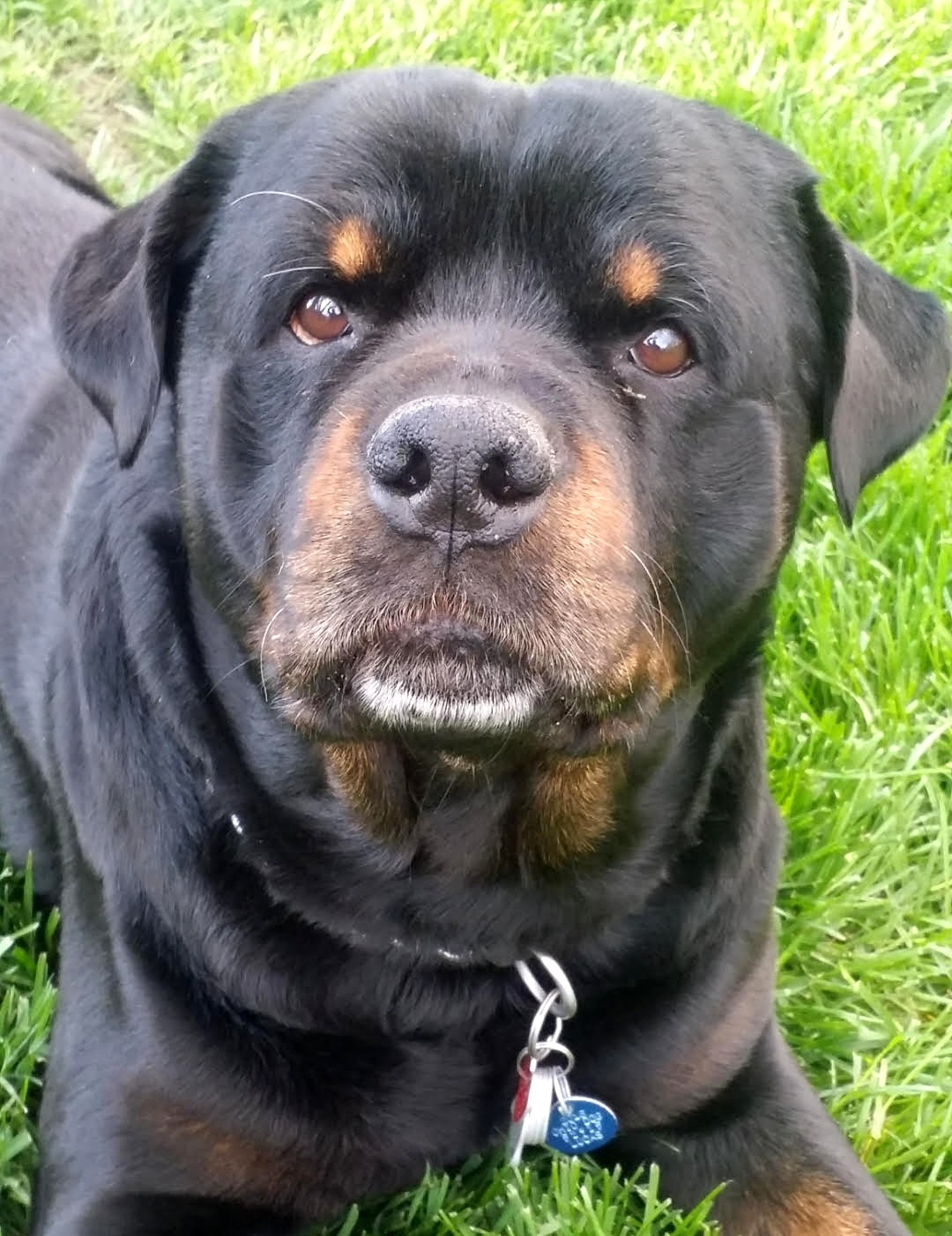 - Meet Ozzy! 12 year old Rottweiler from Toledo, OH in need of a large rear-end wheelchair: $450.(12.18.18: $30.00 received)100% of your money brings wheelchairs to dogs in need when you donate.