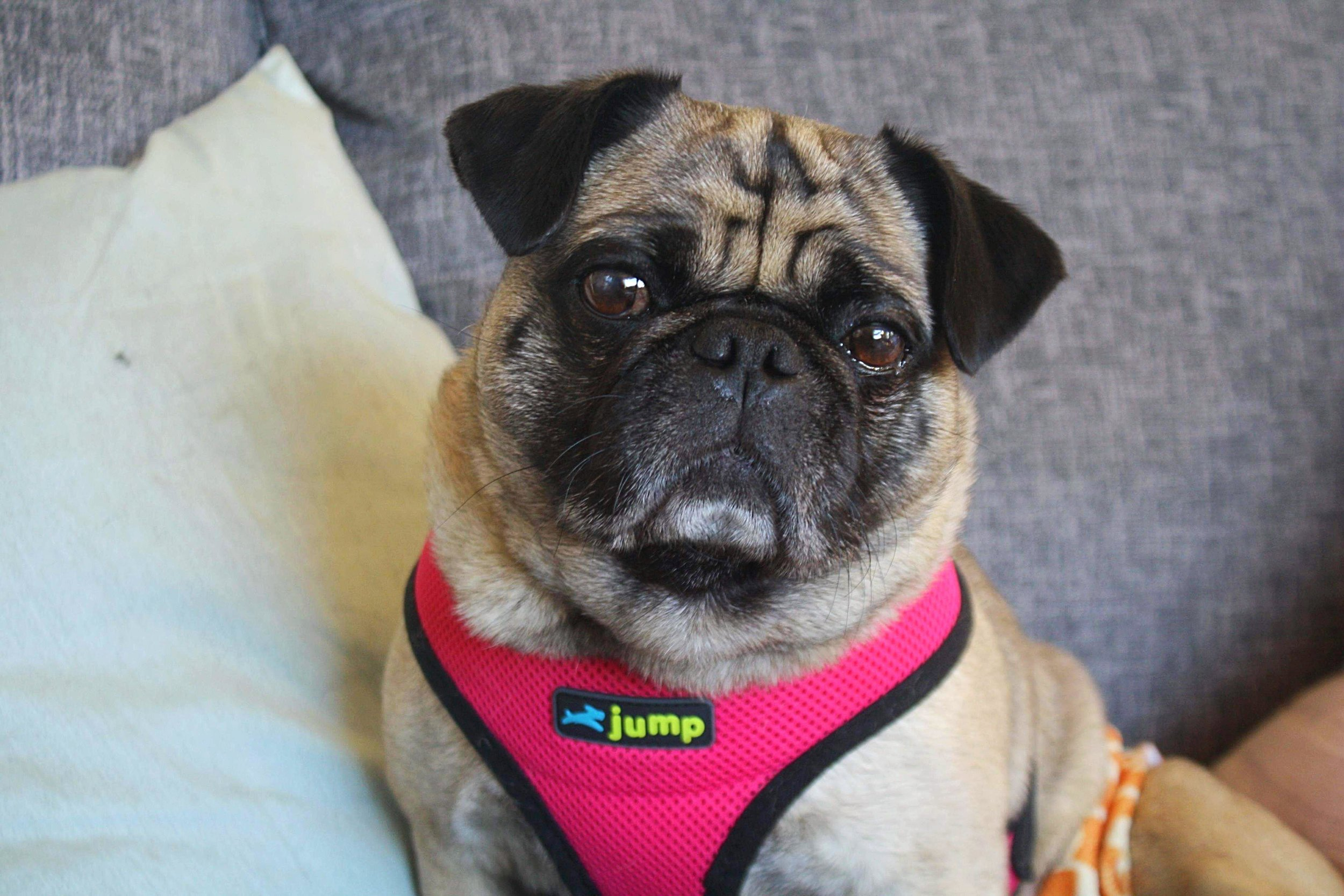 - Meeka is a 3 year old Pug from Ontario, Canada. She lived a life abuse which left her partially paralyzed. Her luck turned around when K9 Crusaders saved her.Meeka is full of life and would love to play with her foster brothers. She is need of a rear-end wheelchair: $250