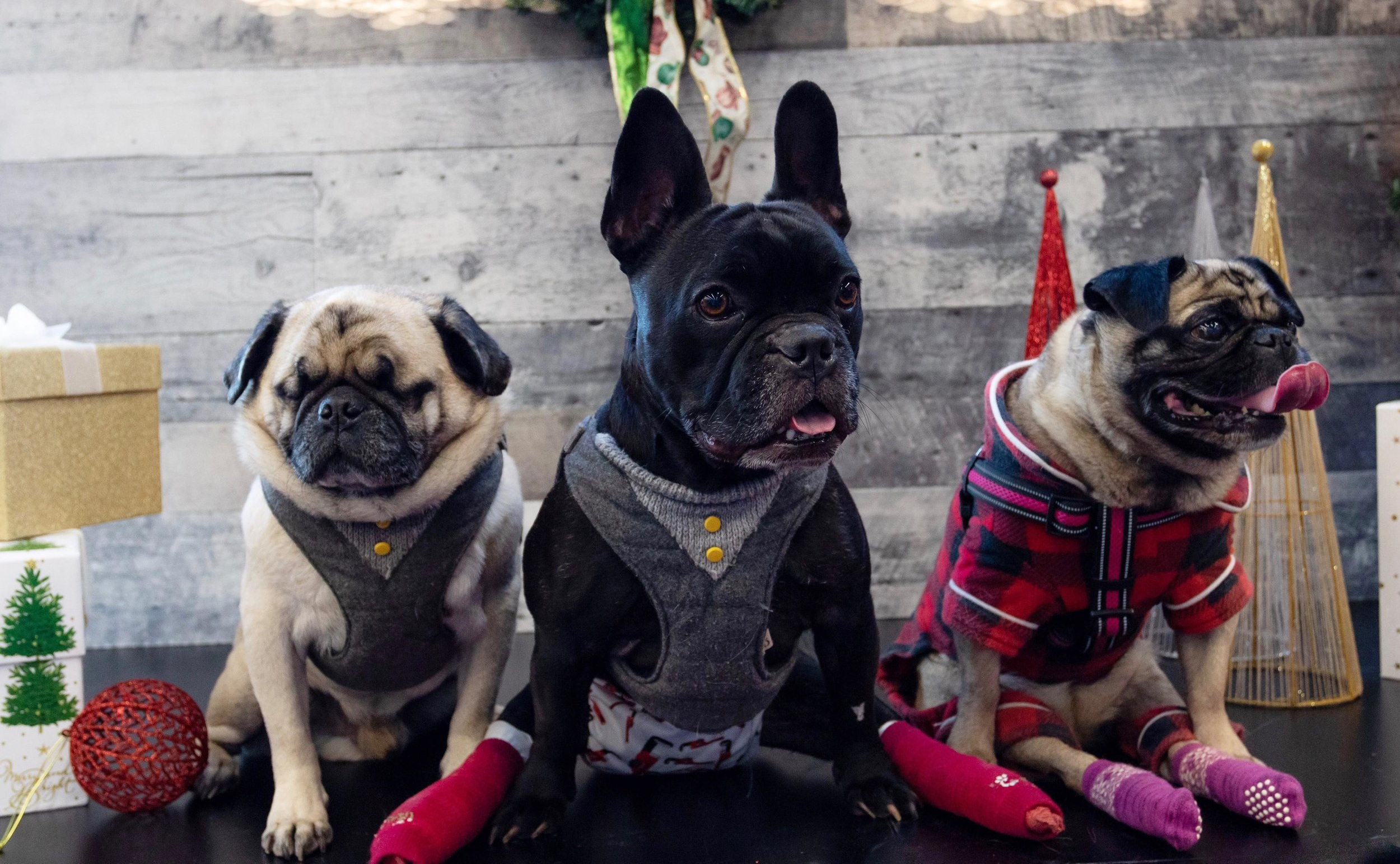Meeka (right) with her foster brother Diesel (middle) and her K9 Crusader rescue pug friend Maxy Man (left)