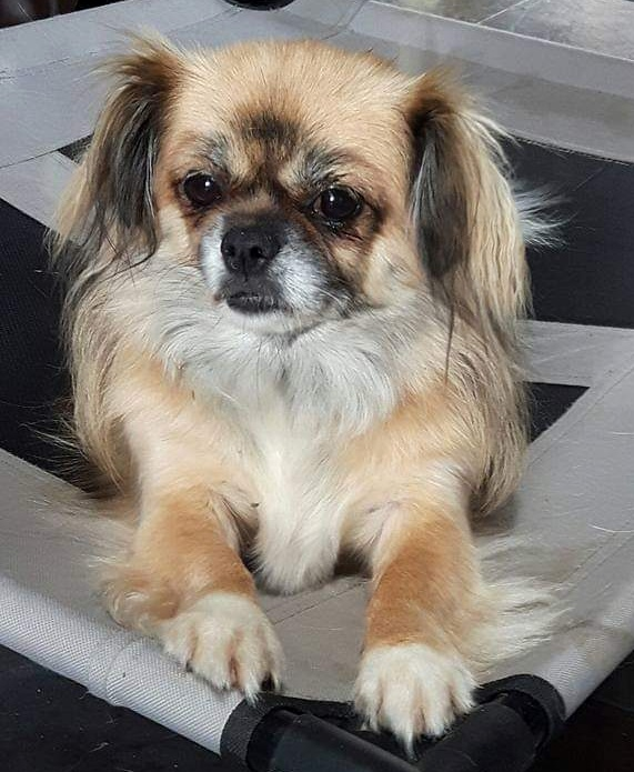 - Fifi is an 8.5 year old Tibetan Spaniel from Ireland. She is a rescue dog with severe arthritis due to her past living conditions.Needs a quad wheelchair: $440 includes shipping to Ireland.