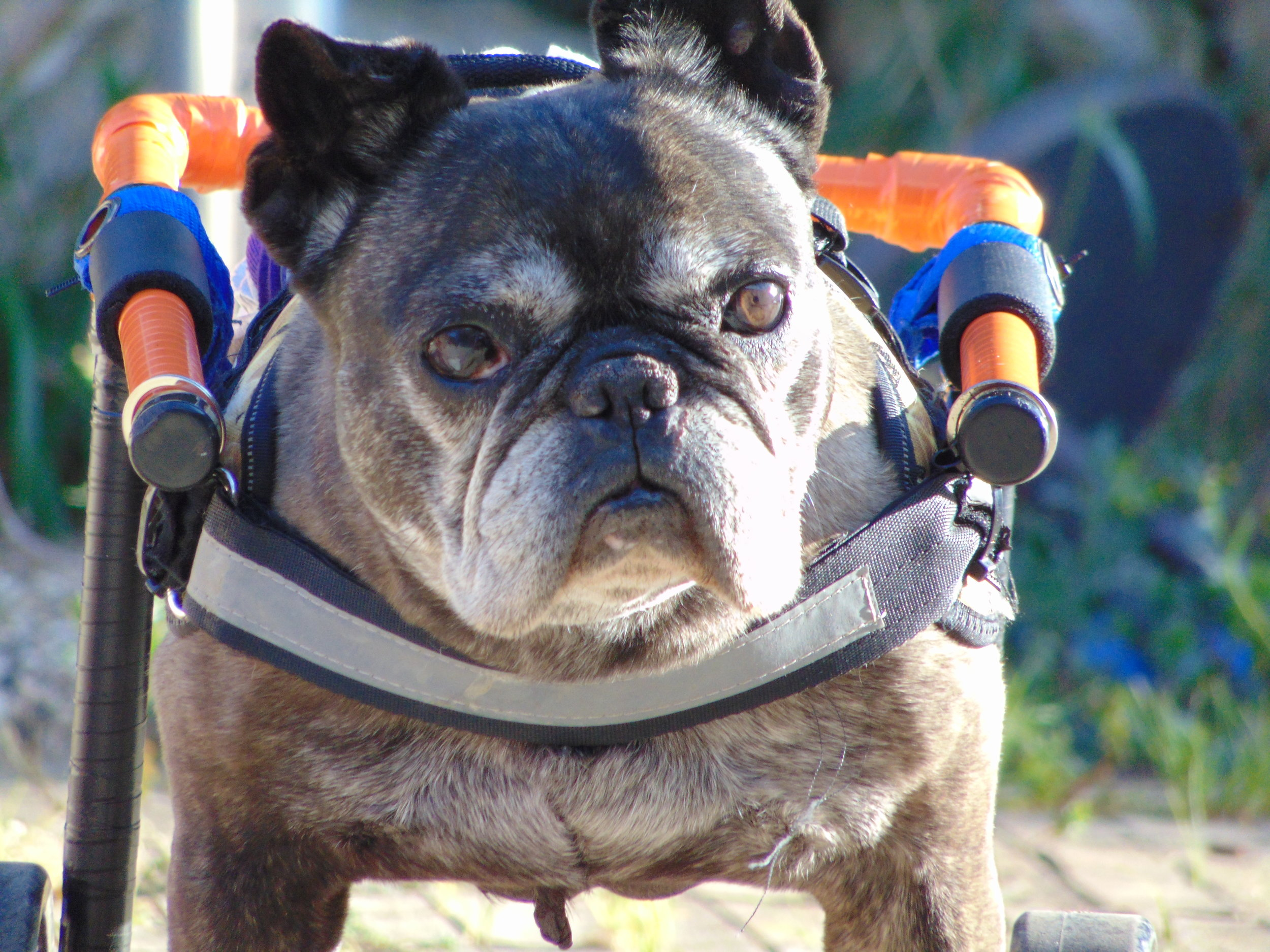 Loula - French Bulldog from Mallorco, Spain, in need of a rear-end wheelchair: $350 includes shipping to Spain.