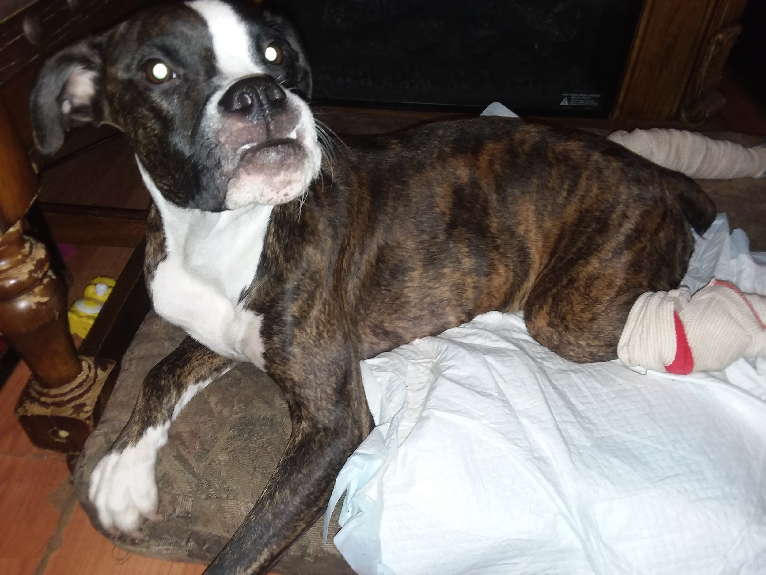 chocolate - 1.5 year old Boxer Dog from  Kellyton , AL, in need of a rear-end wheelchair: $360.