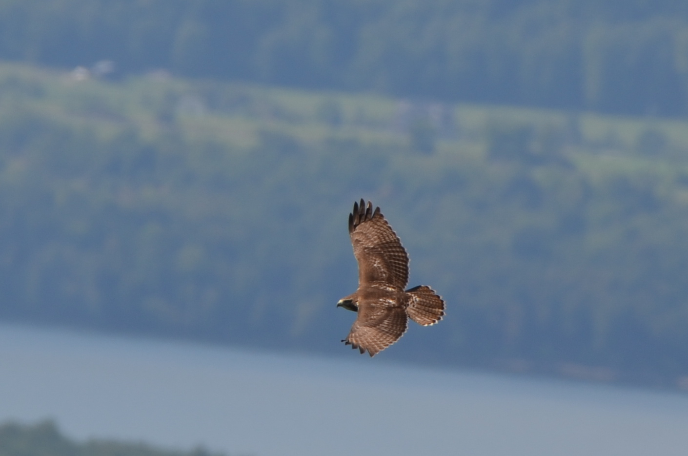 Red-tailed Hawk Photo: Mike Sargent