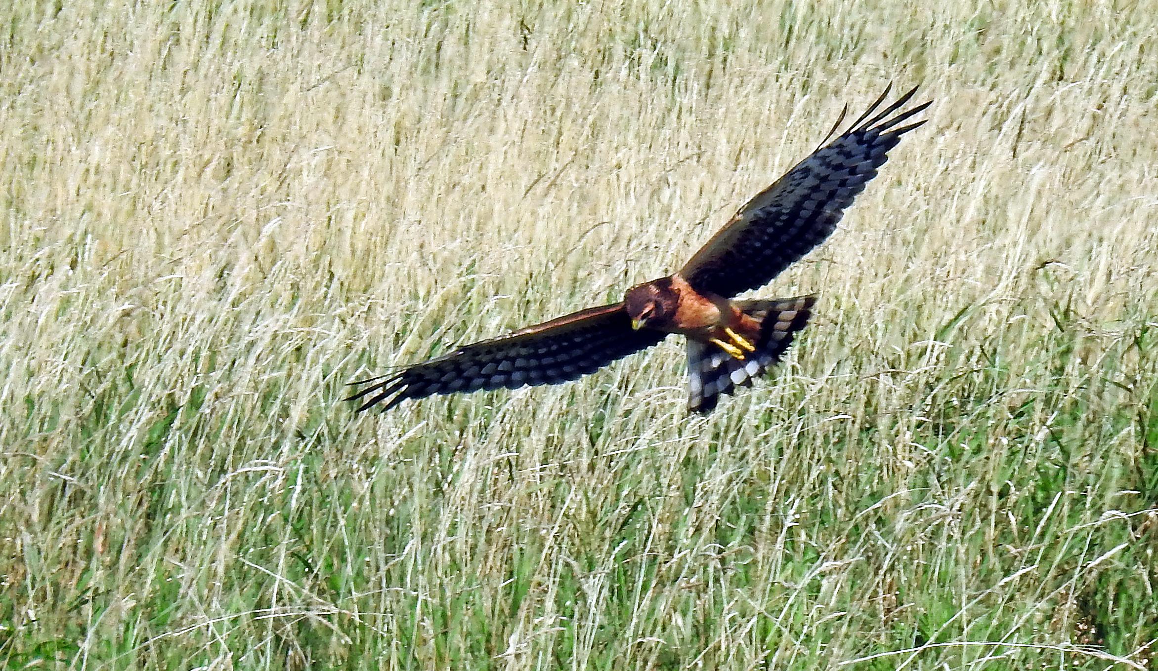 Northern Harrier Photo: Bill Boccio