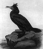 dc-cormorantB.jpg