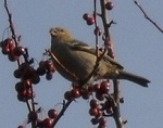 Pine_Grosbeak-resized2.jpg