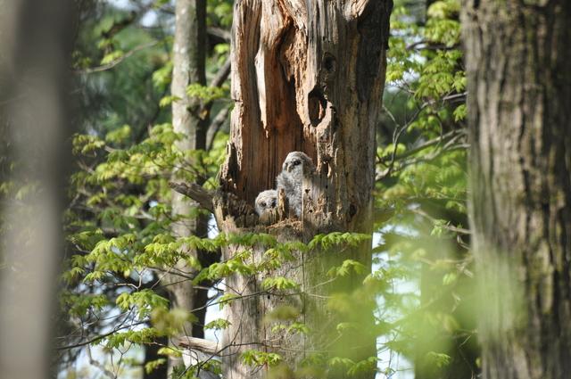 Barred Owls Photo: Jim Morris