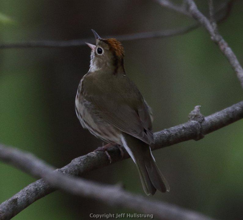 Ovenbird on Mt Philo Photo: Jeff Hullstrung