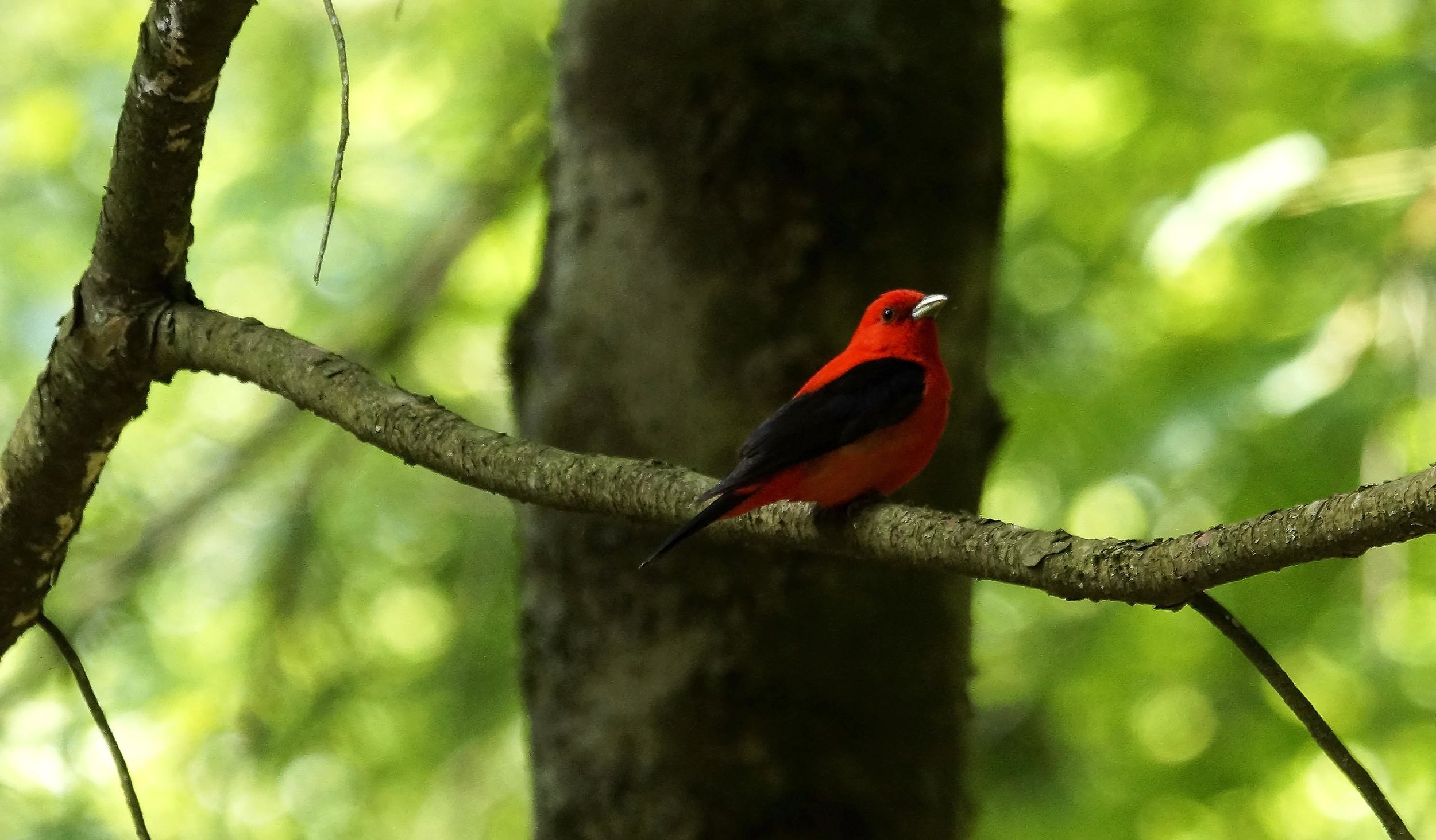Scarlet Tanager Photo: Marc Faucher