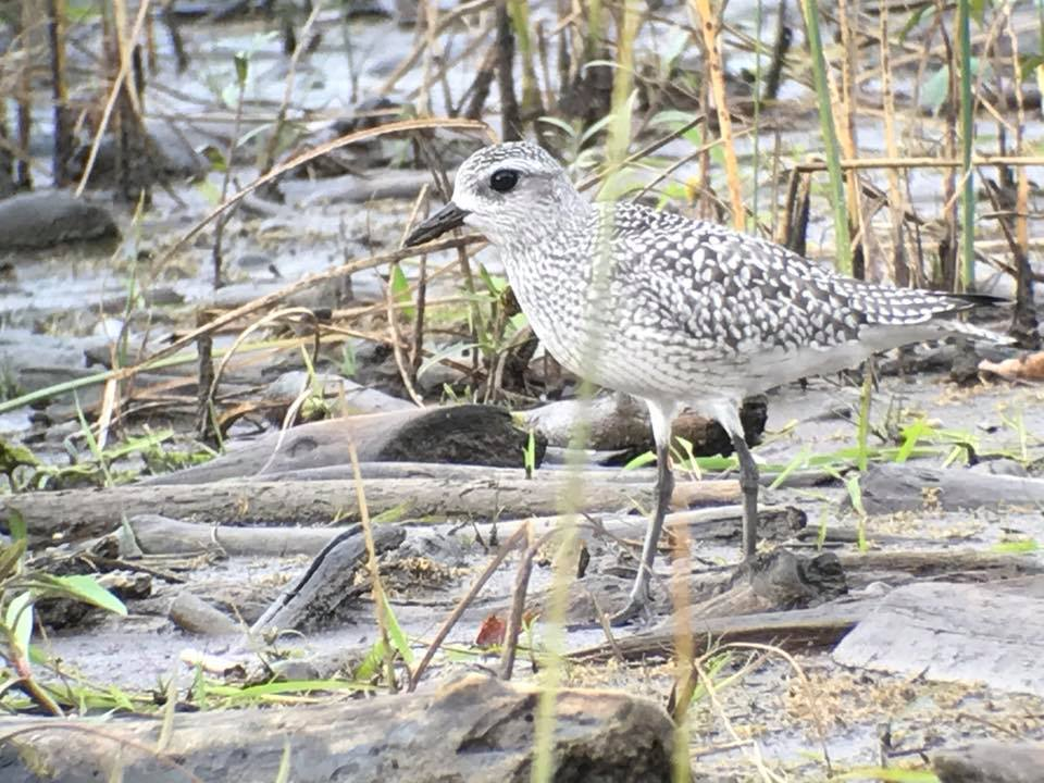 Black-bellied Plover at Delta Park Photo: Clem Nilan