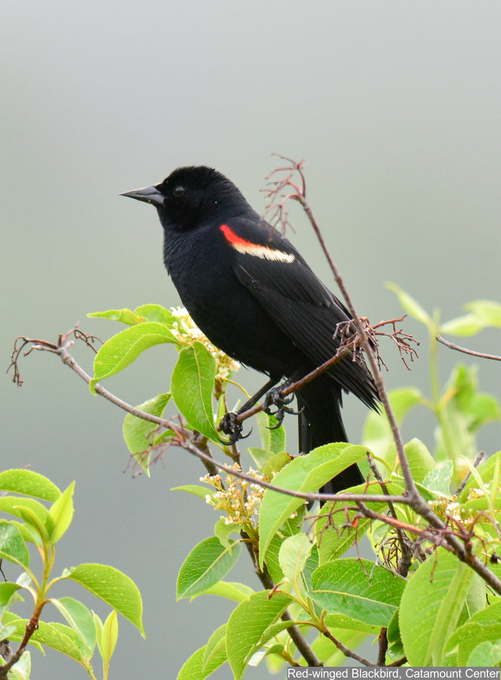 Red-winged Blackbird Photo: Marc Faucher
