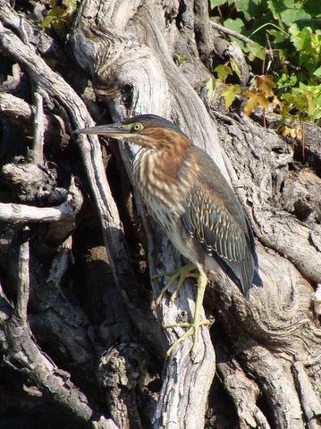 Green Heron Photo: Judy Brock
