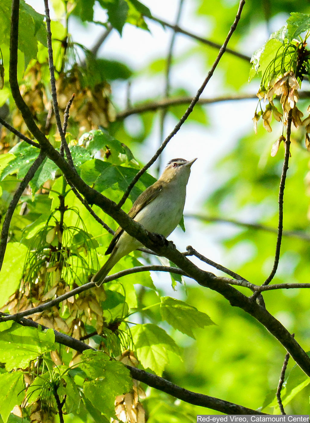 Red-eyed Vireo Photo: Marc Faucher