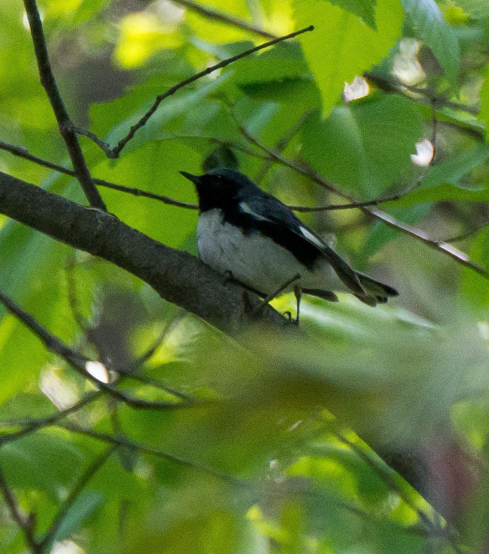 Black-throated Blue Warbler Photo: Marc Faucher