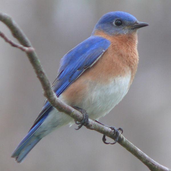 Eastern Bluebird Photo: Bill Boccio
